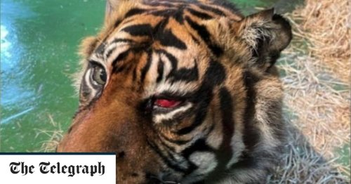 Tiger's sight saved in 'world first' operation