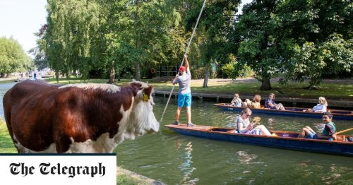 Cambridge cow-grazing tradition under threat from council plans
