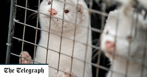 Denmark burns coronavirus infected zombie mink for electricity