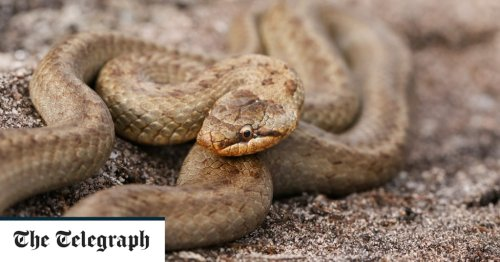 Rare snake to be reintroduced across England to help species survive climate change
