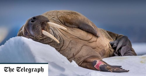 Pictures of the Day: Walrus snooze time in Svalbard