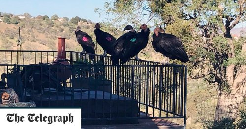 Rare California condors swoop on woman's home and 'declare war' by trashing the property