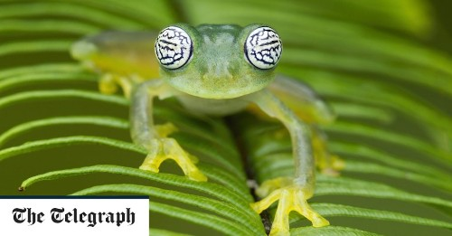 Rainforest frogs have evolved to wave instead of croak to attract females as waterfalls are too loud