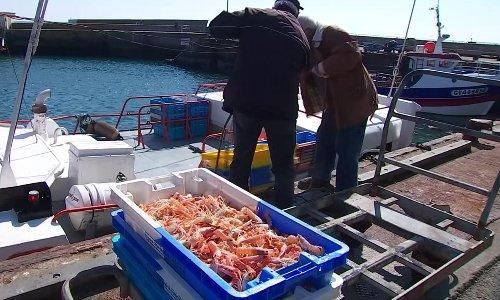 La pleine saison des langoustines dans le Finistère - Journal de 13 heures | TF1