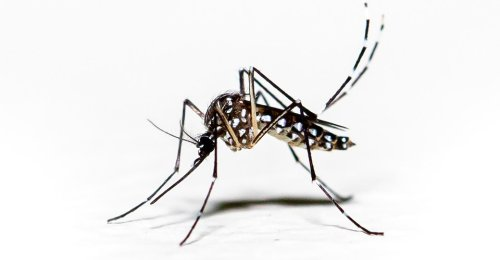 A Pivotal Mosquito Experiment Could Not Have Gone Better