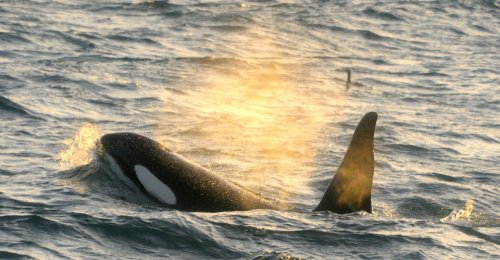 Iceland's Killer Whales Are Scared Straight