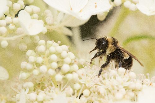 Bumblebees Are Dying Out Because They're Too Fat to Mate