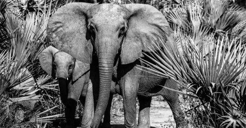 African Elephants Evolved Tusklessness Amazingly Fast