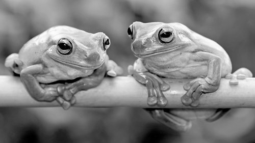 How Female Frogs Tune Out Useless, Noisy Males