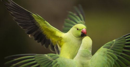 The Parakeets of London