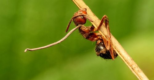 How the Zombie Fungus Takes Over Ants' Bodies to Control Their Minds