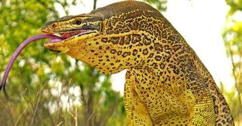 Monitor Lizards in Australia Dig Incredible Corkscrew Nests - The Atlantic