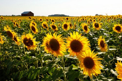 21 Sunflower Fields in Ohio Not to Miss
