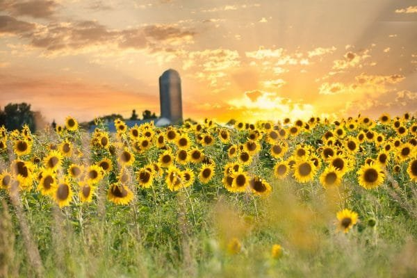 7 Stunning Sunflower Fields in Minnesota You Won't Want to Miss in 2021