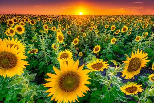 11 Texas Sunflower Fields to Visit in 2021