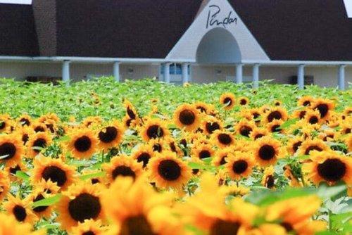 13 Spectacular Sunflower Fields in Long Island