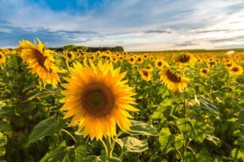13 Sunflower Fields in Illinois You'll Love