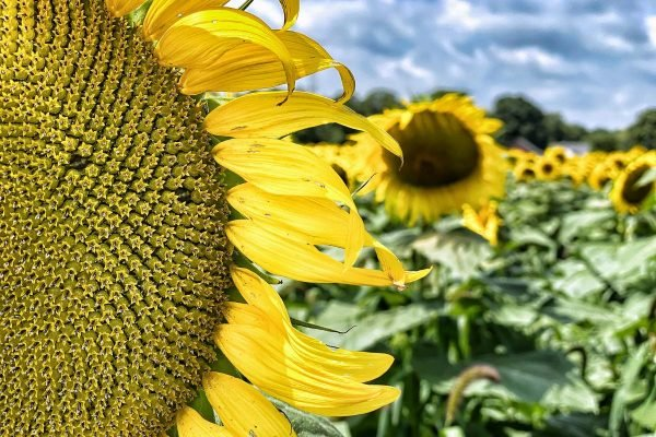 21 Sensational Sunflower Fields in Ohio You Won't Want to Miss 2021