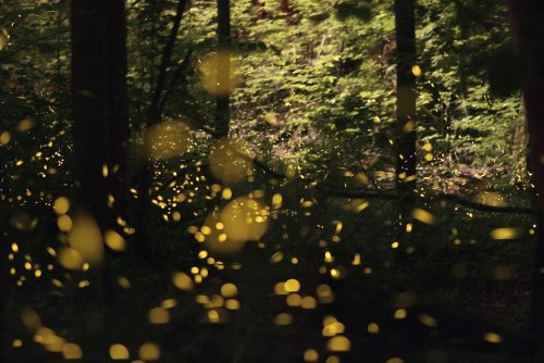 """""""Like a tiny galaxy descended into the forest""""—new species of firefly found"""