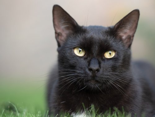 Black cat facts are here to set the record straight (10 Photos)