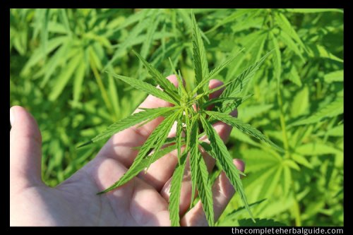 Different Parts of the Hemp Plant and the Health Benefits - The Complete Herbal Guide