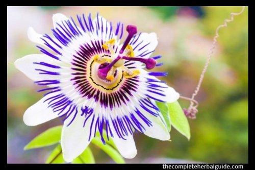 Soporific Herbs: Top 15 Herbal Sedatives that Can Calm & Help You Get a Good Night's Sleep