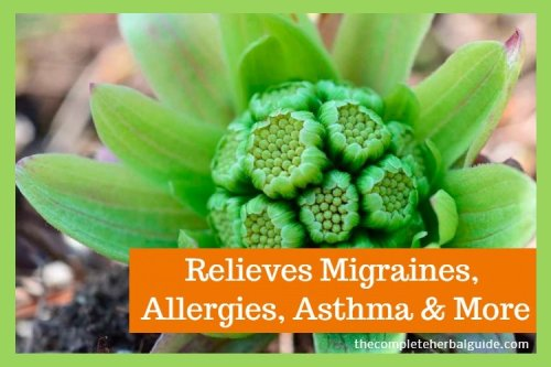 Butterbur: The Herb that Relieves Migraines, Allergies, Asthma & More