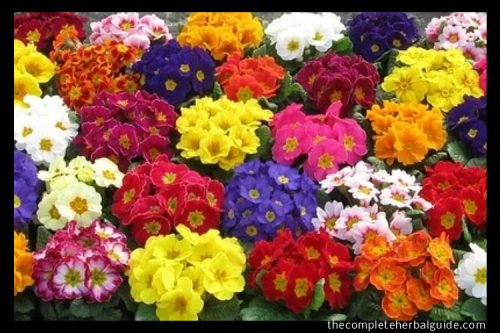 Primula Herb Benefits and Medical Uses