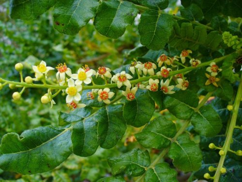 Boswellia: the Secret Anti-Inflammatory With Virtually No Side-Effects