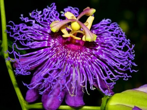Passion Flower: Nature's Tranquilizer