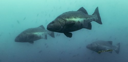 Giant sea bass are thriving in Mexican waters – scientific research that found them to be critically endangered stopped at the US-Mexico border