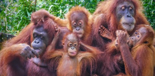 Orangutans, gibbons and Mr Sooty: what the origins of words in Southeast Asia tell us about our long relationships with animals