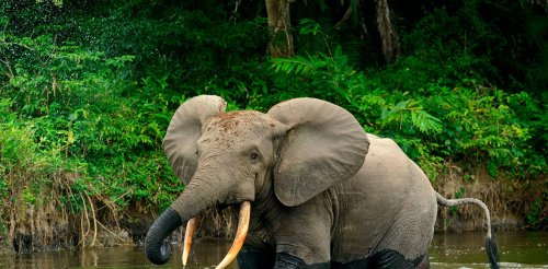 How forest elephants move depends on water, humans, and also their personality