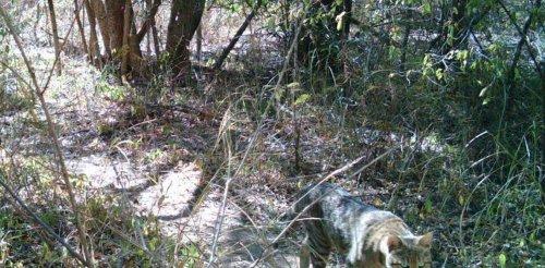 Nous avons voulu savoir d'où venaient ces mystérieux chats « des forêts » de Madagascar. Voici ce que nous avons découvert