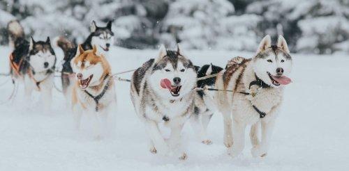 Pourquoi les chiens sont-ils interdits en Antarctique ?