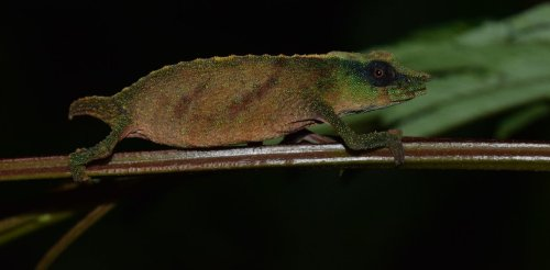 Malawi's tiny Chapman's chameleons are holding on for dear life