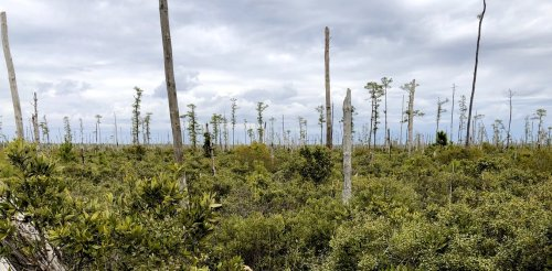 Sea level rise is killing trees along the Atlantic coast, creating 'ghost forests' that are visible from space