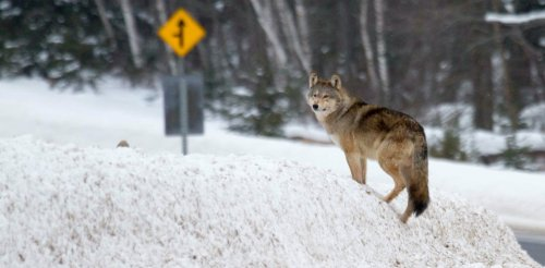 The erosion of Ontario's Endangered Species Act threatens iconic Algonquin wolf