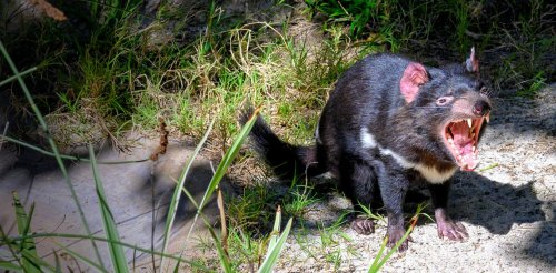 If wildlife vigilantes smuggle Tassie devils to the Australian mainland, the animals could live in secret for 20 years
