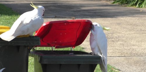 Clever cockatoos in southern Sydney have learned to open curb-side bins — and it has global significance