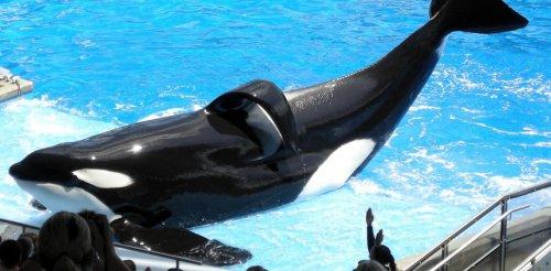 Blackfish: how captive killer whale documentary ended SeaWorld's orca breeding programme