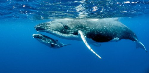 Humpback whales may have bounced back from near-extinction, but it's too soon to declare them safe