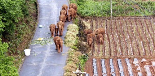 China's efforts to save its wandering elephants are laudable, but let's not forget its bloody conflicts with the giants
