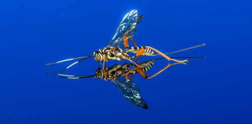 Parasitic wasps turn other insects into 'zombies,' saving millions of humans along the way