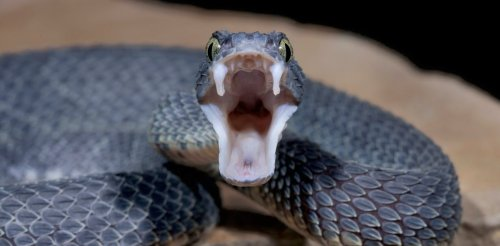 How snake fangs evolved to perfectly fit their food