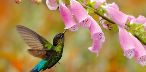 How colonialism transformed foxgloves – and why hummingbirds might be the reason