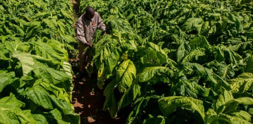 Lessons from Zimbabwe's tobacco farmers for the COP26 climate change talks