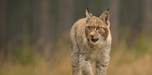 The lynx may have survived in Scotland centuries later than previously thought, new study suggests
