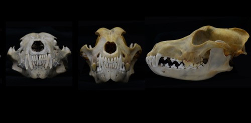 Jaws of death: how the canine teeth of carnivorous mammals evolved to make them super-killers