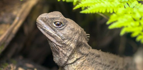 Tuatara are ancient, slow and endangered. But their super speedy sperm could boost conservation efforts